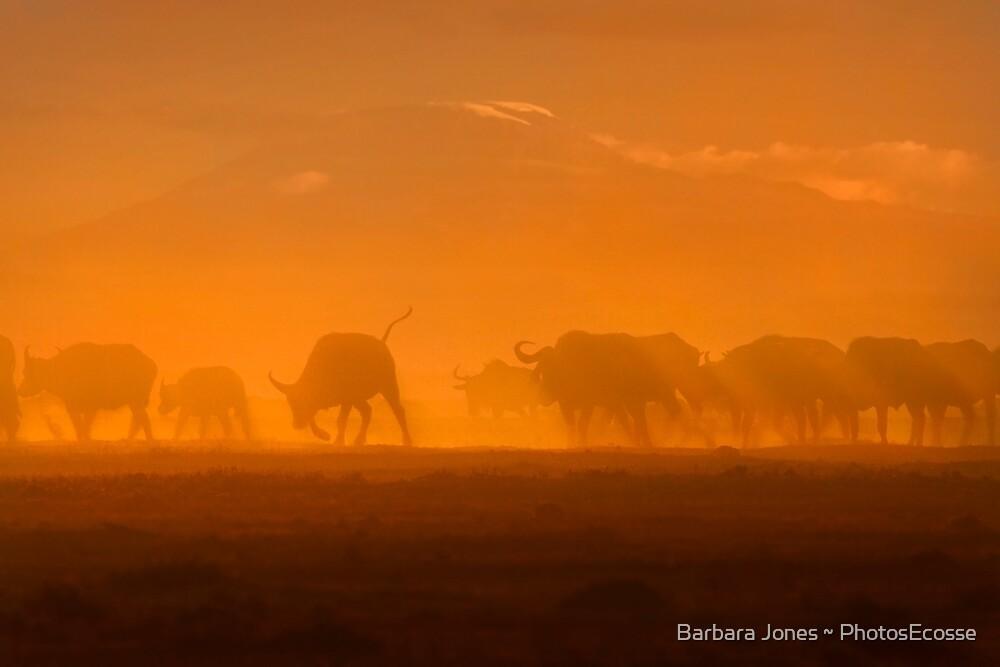 Buffalo in the dust, Amboseli National Park, Kenya, Africa. by Barbara  Jones ~ PhotosEcosse