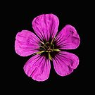 Pink Geranium flower by Sara Sadler