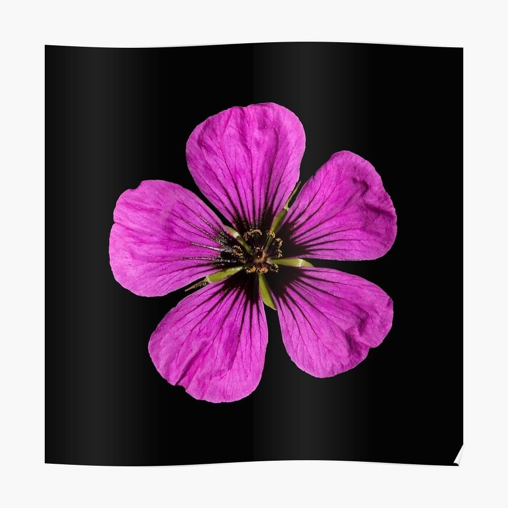 Pink Geranium flower Poster