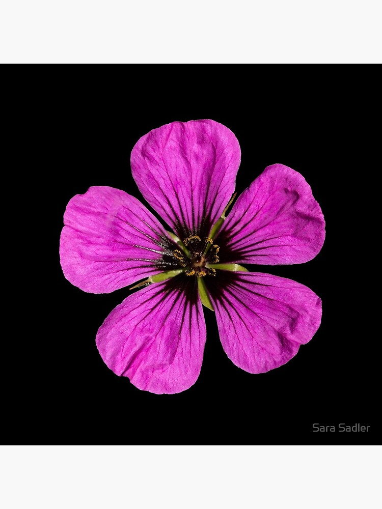 Pink Geranium flower by sadler2121