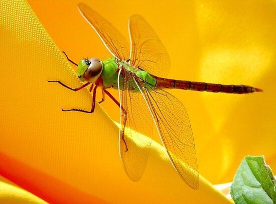 Majestic Green Darner Dragonfly by DARRIN ALDRIDGE