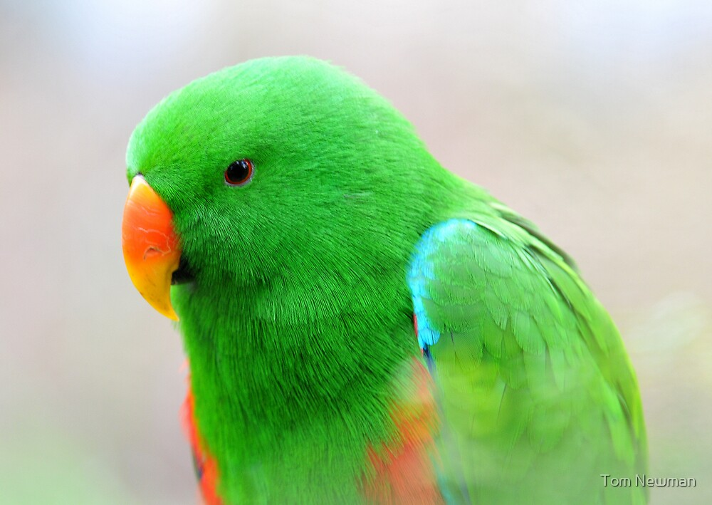 Male Eclectus Parrot by Tom Newman