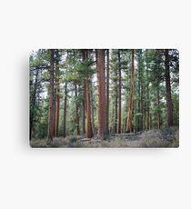 Ponderosa Pine Forest Canvas Print