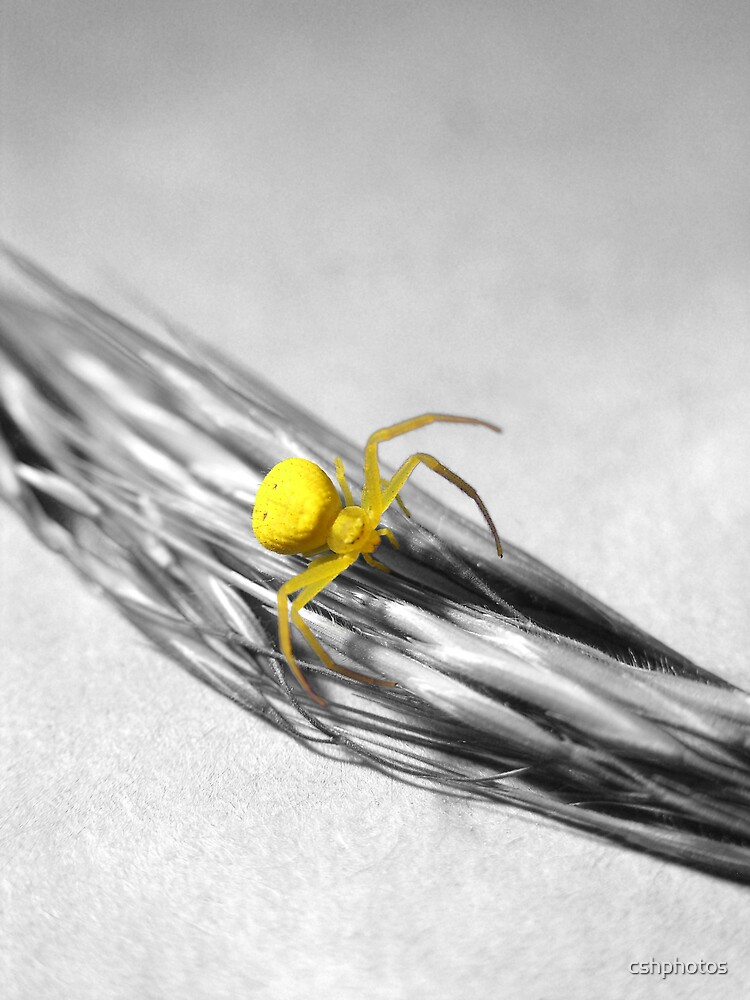 Yellow Spider by cshphotos
