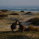 Wallabies on beach by Of Land & Ocean - Samantha Goode