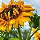 Lofty Sunflower by Rebecca Bryson