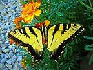 Yellow male Eastern Tiger Swallowtail by FrankieCat