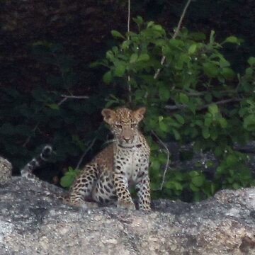Leopard Cub in the Dusk by fitch