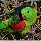 Red-winged Parrot  by Robert Elliott