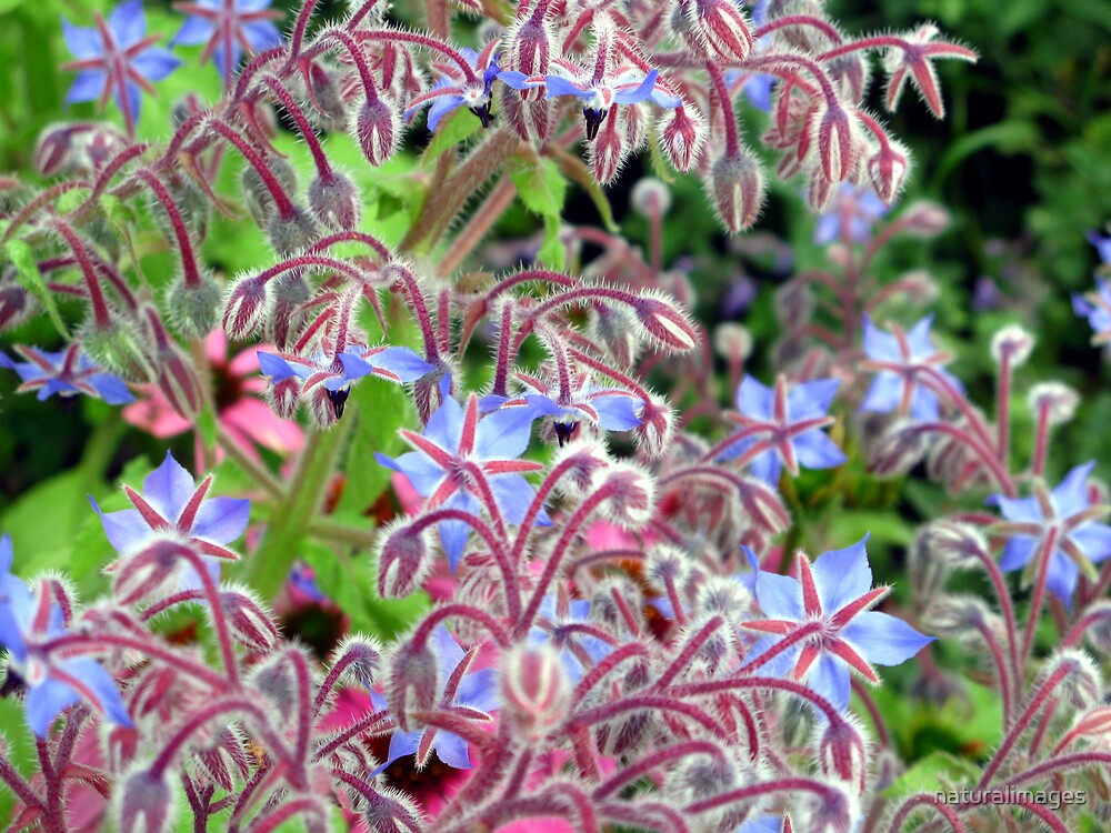 Borage in bloom by naturalimages