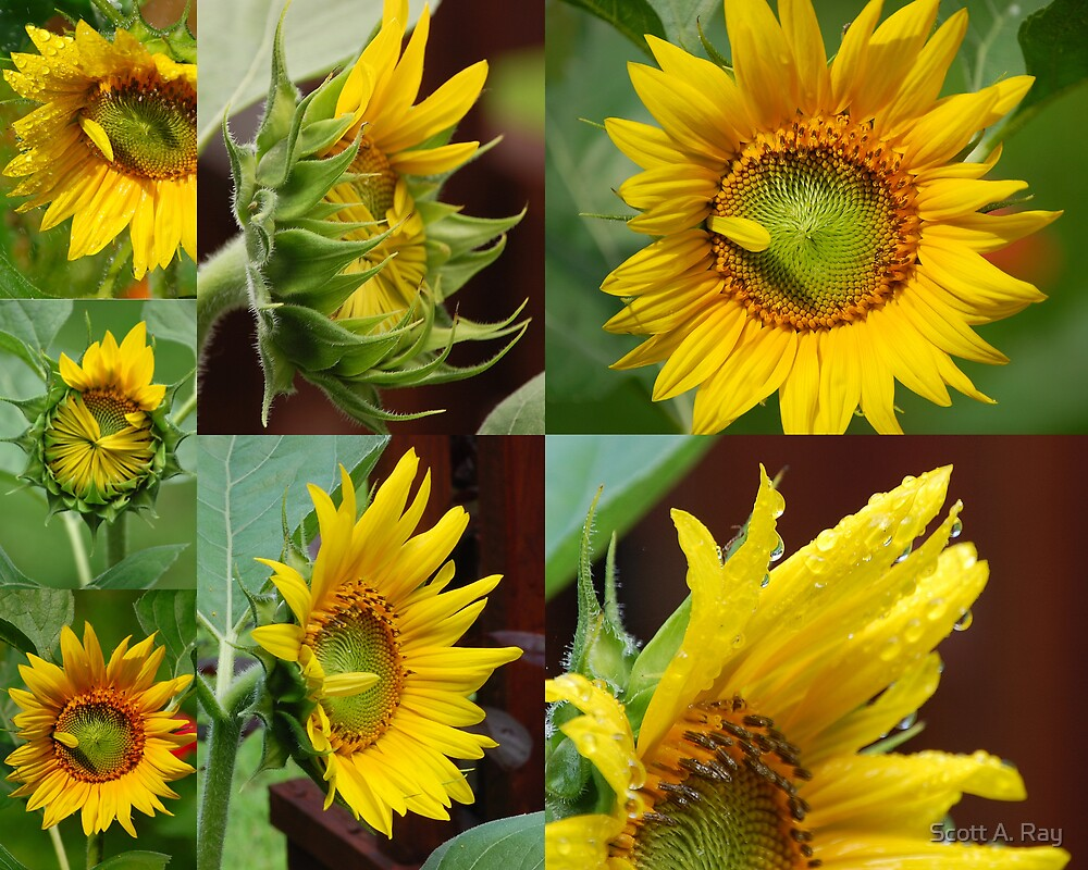 Sunflowers by Scott A. Ray