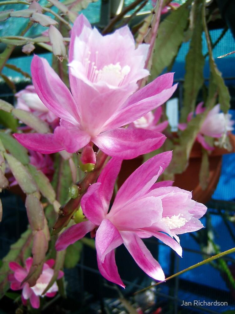 Pink Christmas Cactus by Jan Richardson