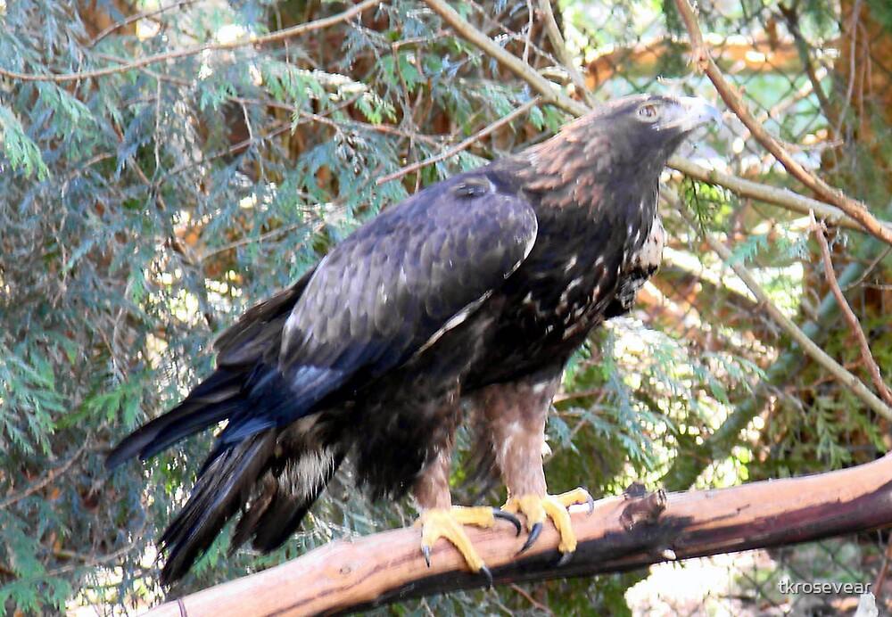 Golden Eagle by tkrosevear