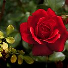 My Love is Like a Red, Red Rose... by SummerJade