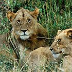 THE COUPLE - THE LION – Panthera leo by Magriet Meintjes
