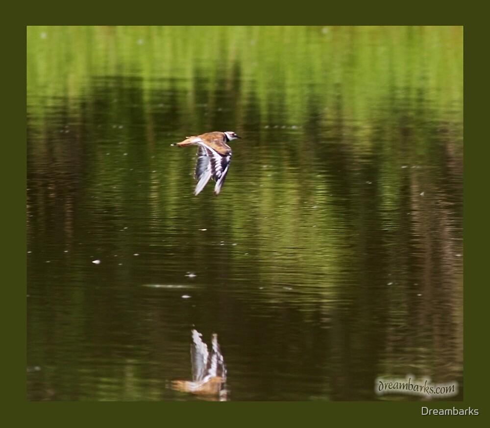 Kildeer in Flight by Dreambarks