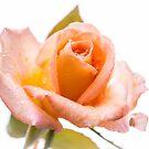 Orange Rose by JEZ22