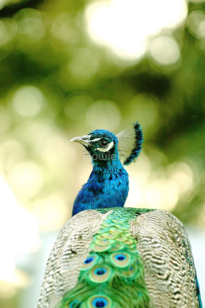 Peacock by HowieP