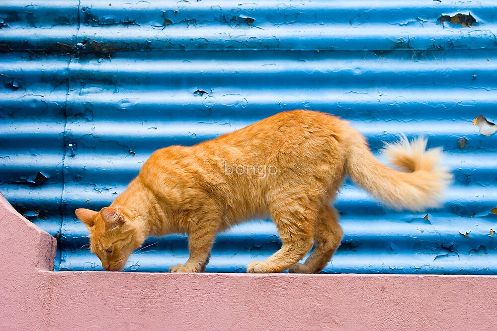 Cat of La Boca by bongo