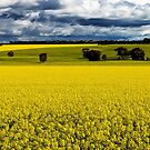 1725 Canola fields by Hans Kawitzki
