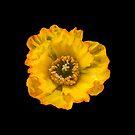 Yellow Poppy by Sara Sadler