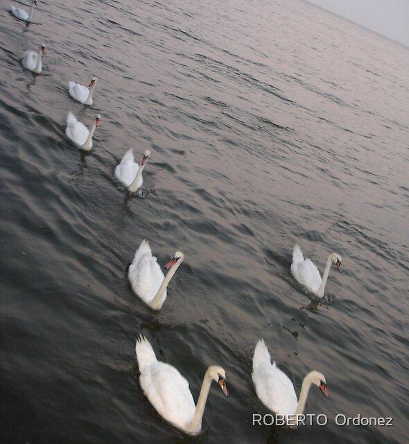 swan by Robert Ordonez