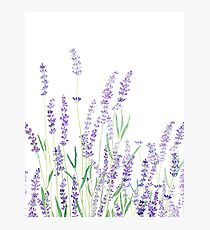 purple lavender  Photographic Print