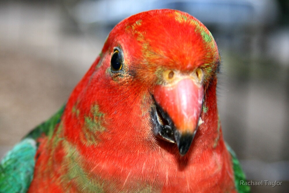 Young King Parrot 2 by Rachael Taylor