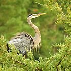 Heron in Evergreen  by lorilee