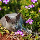 relaxing kitten in flower bed by Hannele Luhtasela-el Showk