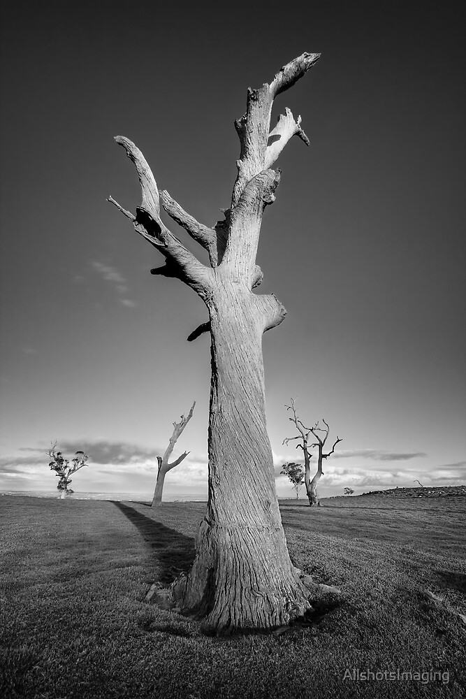 The Dead Trees of Strathalbyn #3 by AllshotsImaging