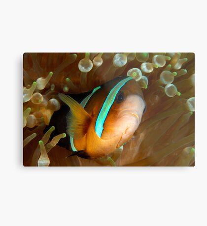 Aggresive Anemone Fish Metal Print