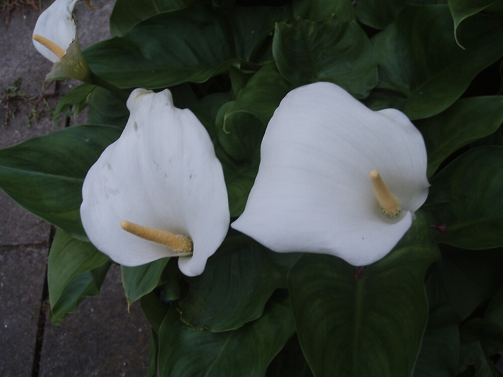 White Arum Lilies by julieburnaby