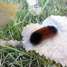 Wooly Bear Caterpillar 2 - Nature Photography by Barberelli by Barberelli
