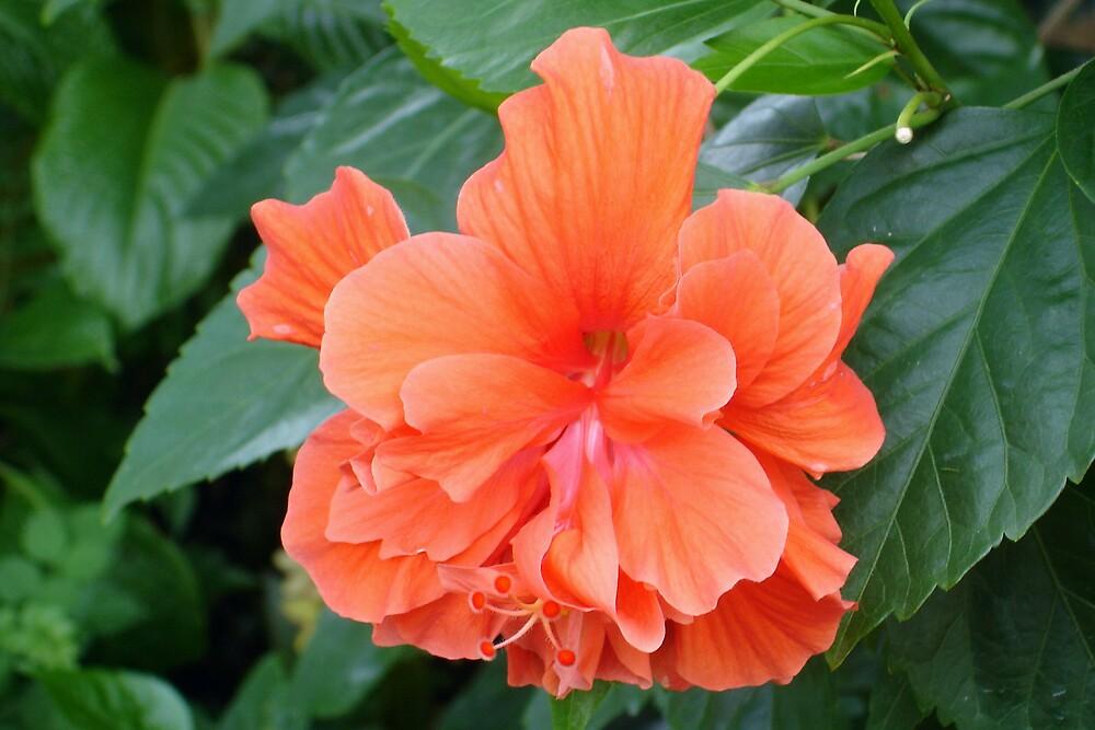 Floridian Flower - Orange by CBenson