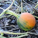 Mini Green and Orange Pumpkin at the Pumpkin Patch Field - Nature Photography by Barberelli  by Barberelli
