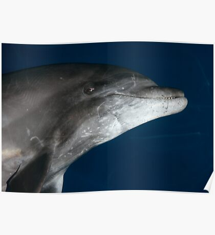 Dolphin Smile Poster