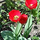 Red Tulips by Kashmere1646