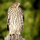 Hawk Waiting for Prey by Christine Till  @    CT-Graphics