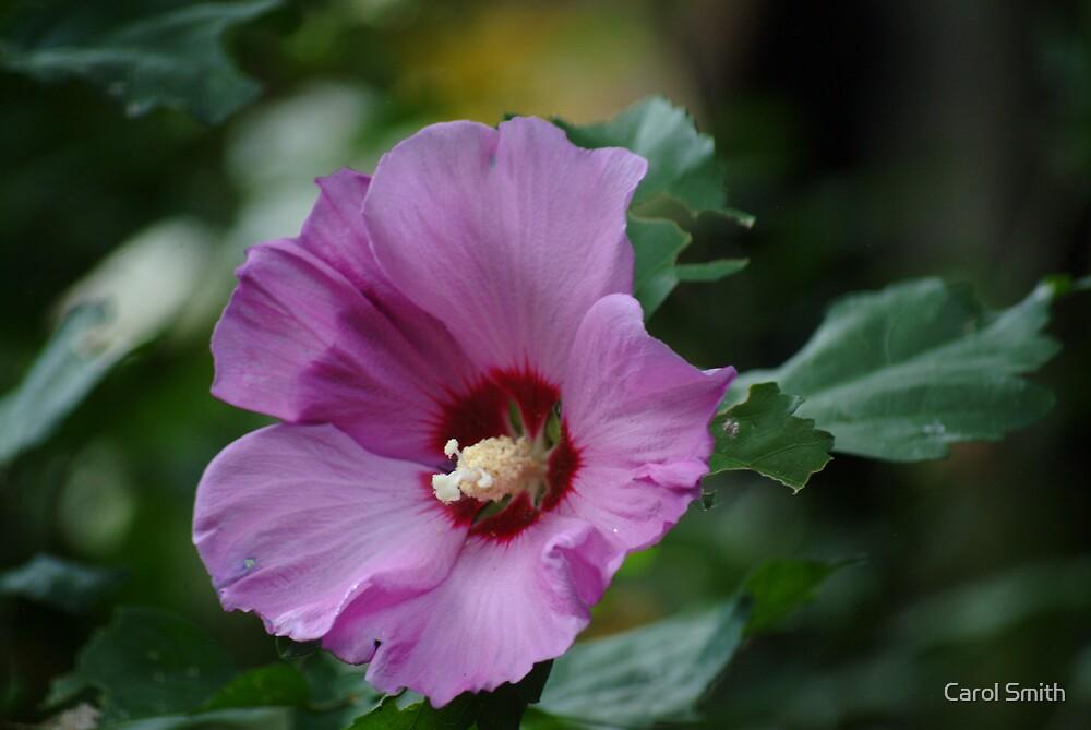 Purple Hibiscus by Carol Smith