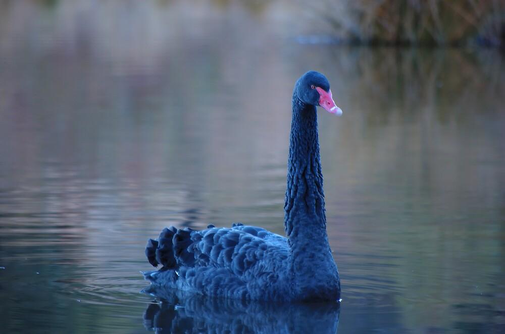 Swan lake by David  Hall