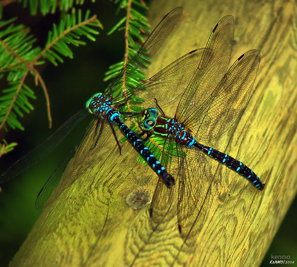 Dragon Fly Boogie by kenmo