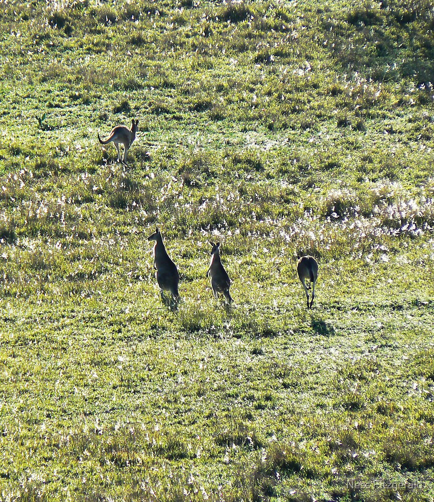 kangaroos in the morning light 01 by Ness Fitzgerald