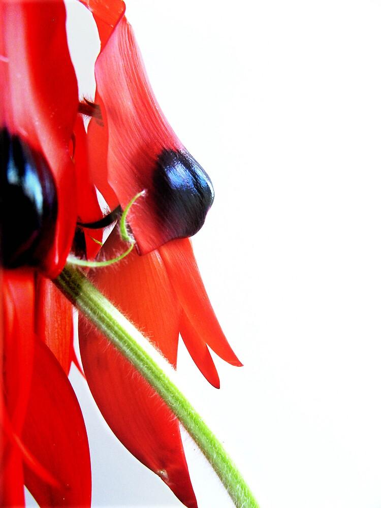 Sturt pea by SarahTrangmar