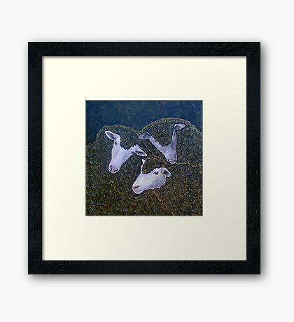 Three Black Sheep Framed Print
