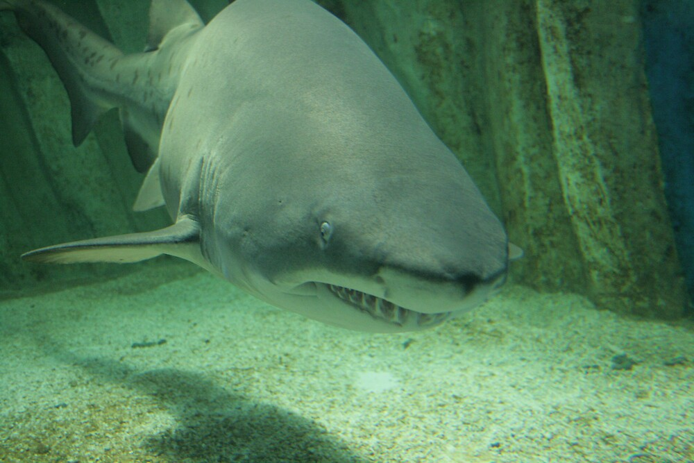 Sand Tiger Shark by godfather76