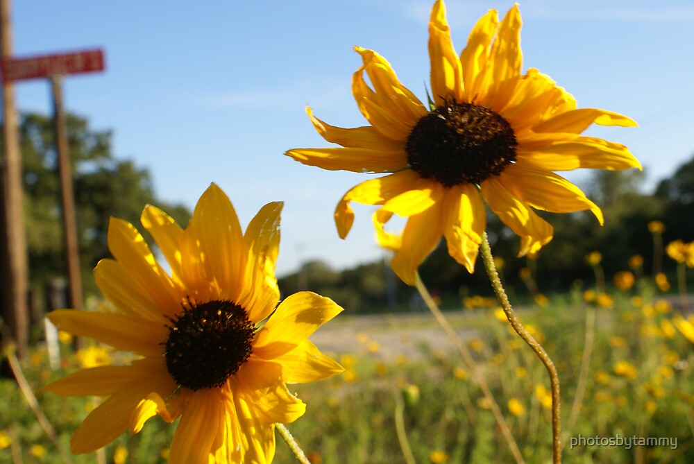 Sunflower by photosbytammy