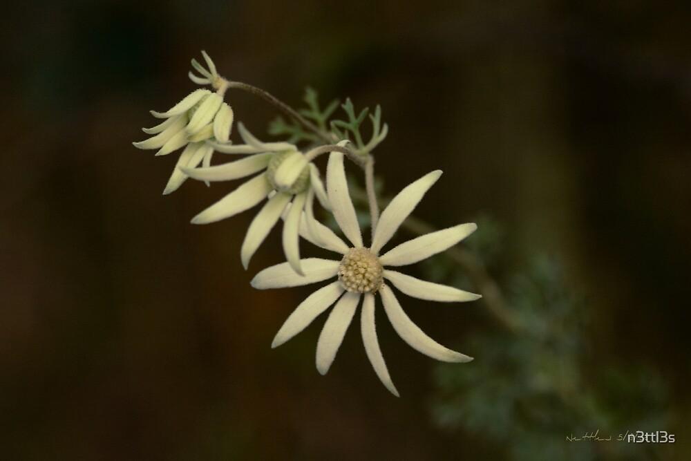 Australian Flannel Flower  by n3ttl3s