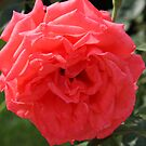 Apricot Rose by Judi FitzPatrick
