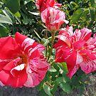 Roses by Ana Belaj